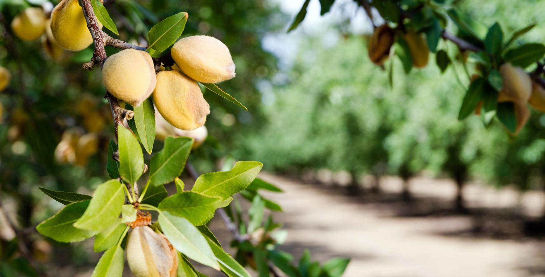 Image of an almond fruit which is harvested to produce our natural almond ingredients