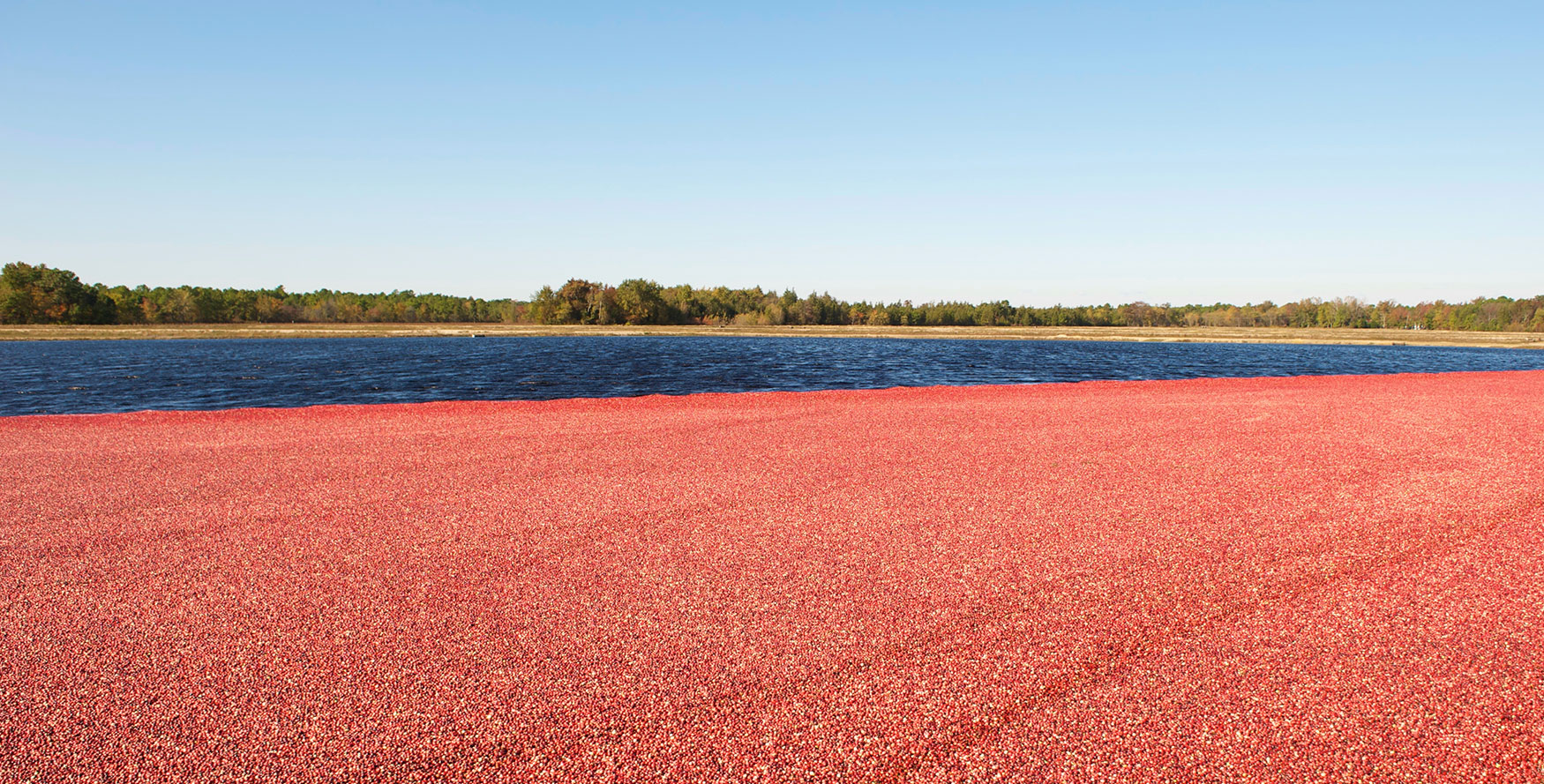 Image of organic cranberries ready to be dried and made into dried cranberry ingredients
