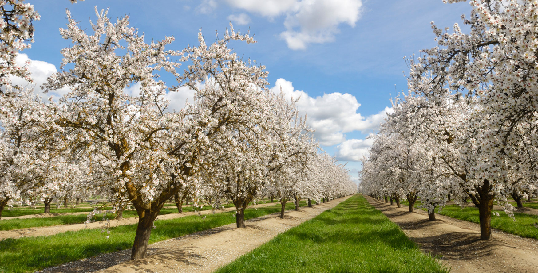 Image of flowering almond plantation, almonds are one of our most popular ingredients which we sell in bulk